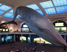 Blue Whale AMNH