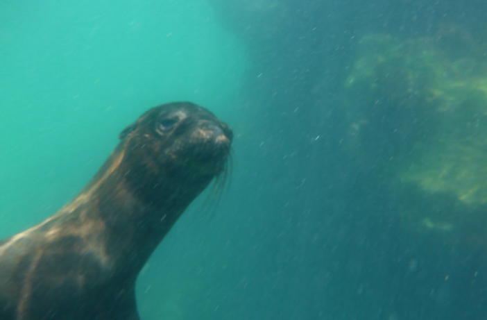 Snorkeling with sea lions at Los Tuneles